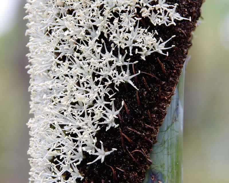 Xanthorrhoea australis - close up of the spike in bloom