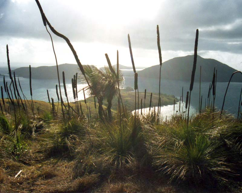 Xanthorrhoea australis - from the top of an island in the Whitsundays, Queensland.