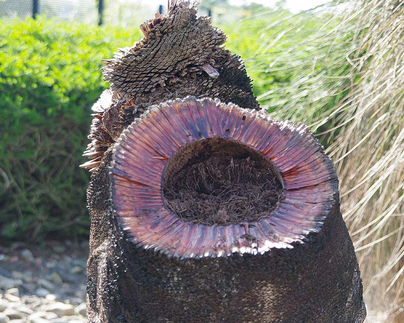 Xanthorrhoea australis Grass Tree trunk