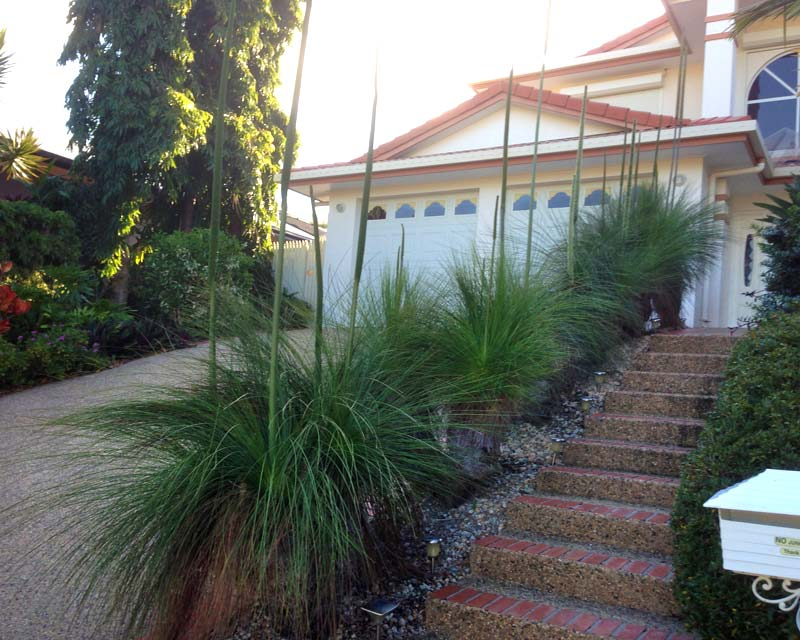 Xanthorrhoea in landscaping use