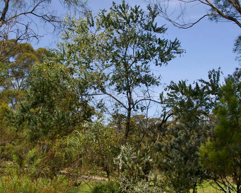 Acacia podalyriifolia - Queensland Silver Wattle - popular plant but is considered a weed in parts of Sydney