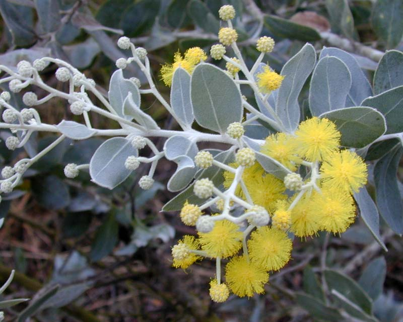 Acacia podalyriifolia - Queensland Silver Wattle - photo Forest and Kim Starr