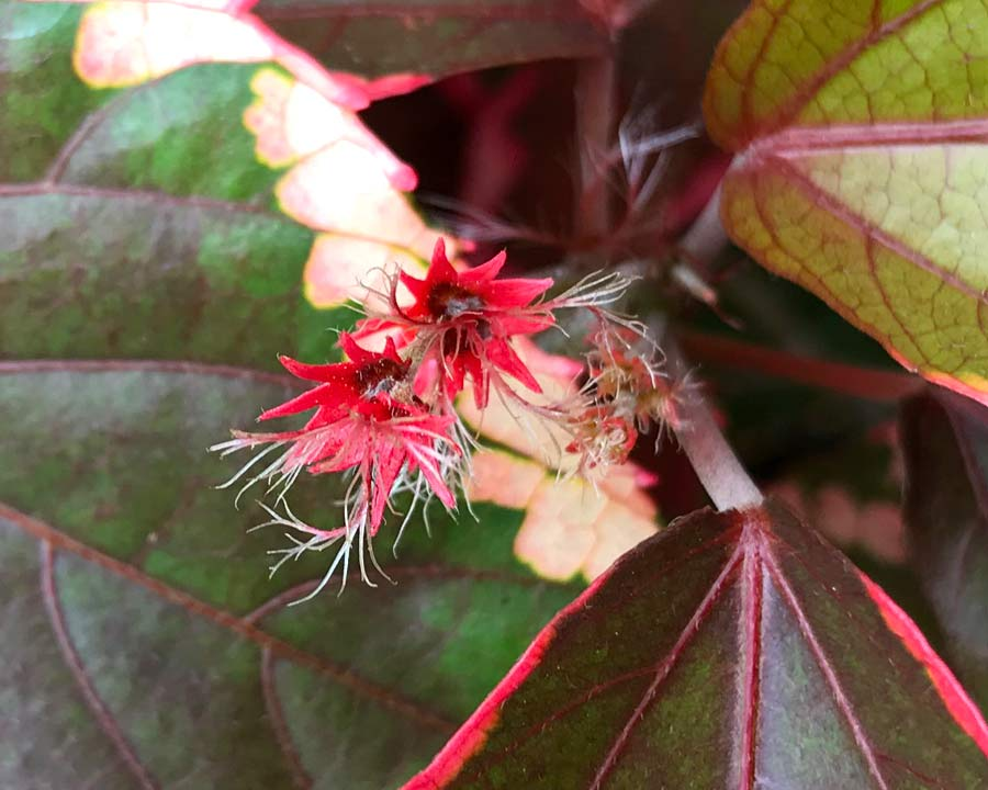 Acalypha wilkesiana - variegated cultivar - small red female flower spikes