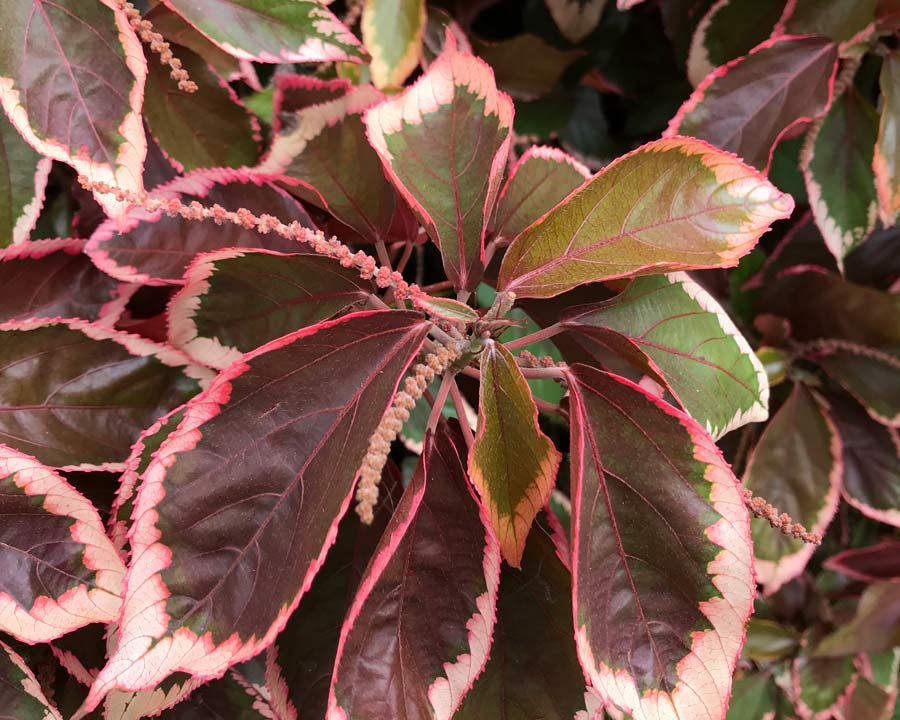 Acalypha wilkesiana - variegated cultivar - copper leaves with pink margins - long male pinky flower spikes