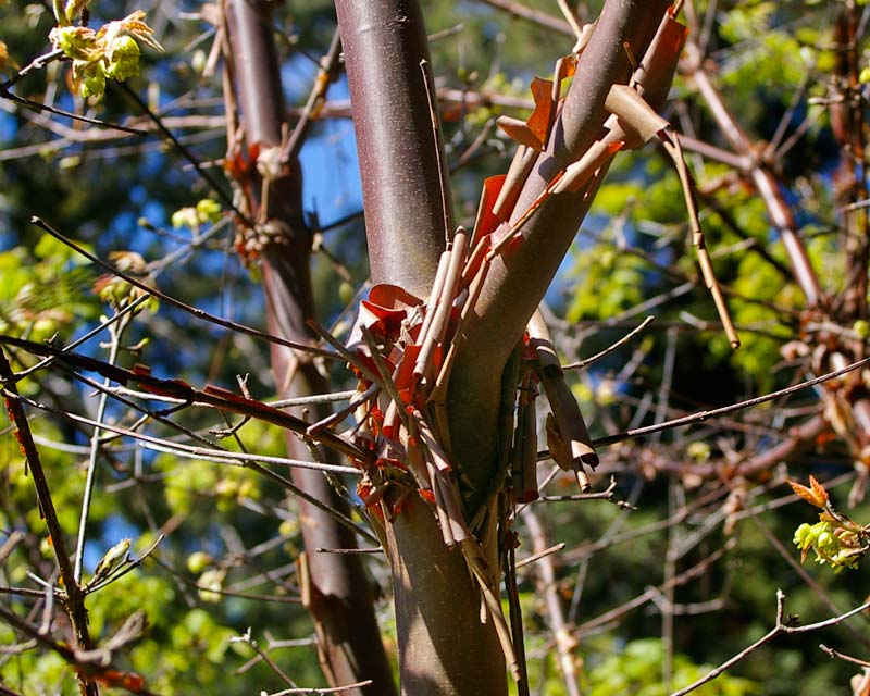 The papery bark of Acer griseum