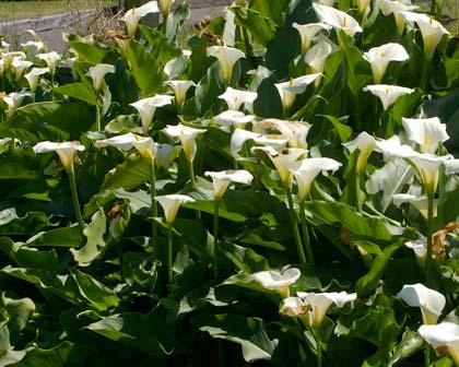 Zantedeschia aethiopica en masse
