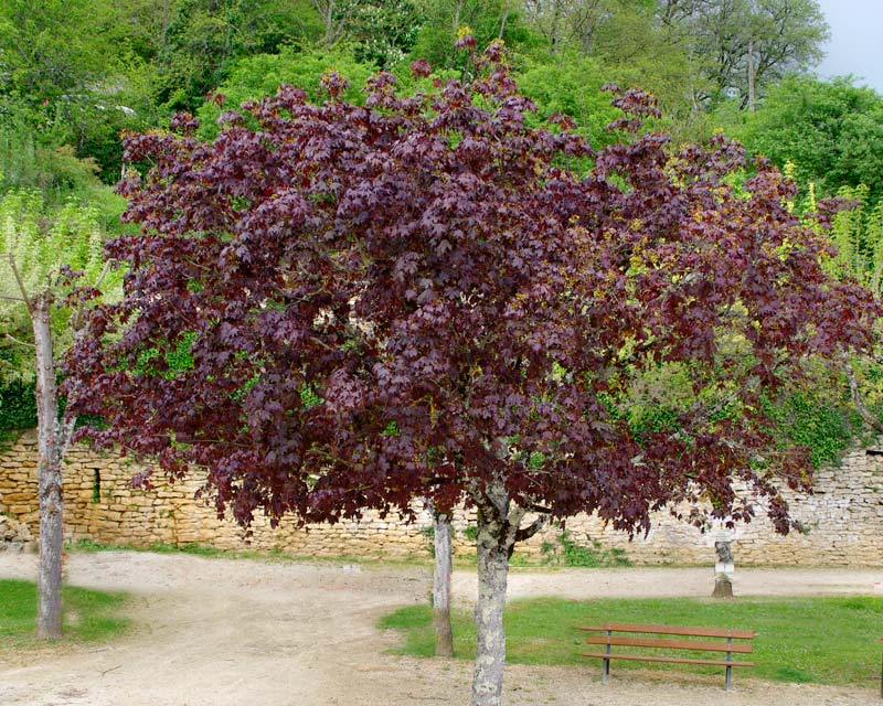 The Red Norway Maple has purple leaves and a rounded shaped