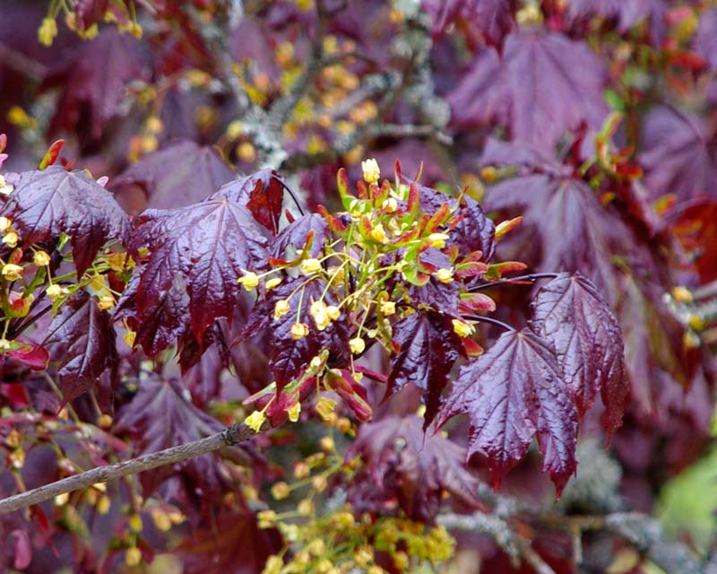 The flowers and samaras of the Red Norway Maple