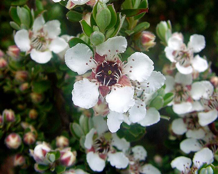 Chamelaucium unicatum