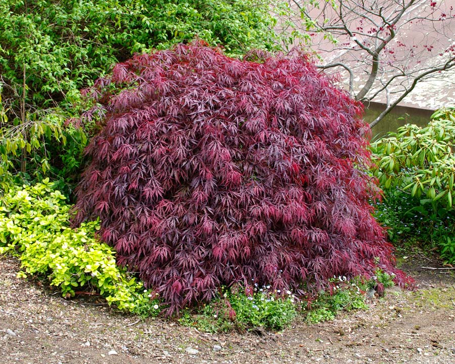 Acer palmatum dissectum atropurpurea