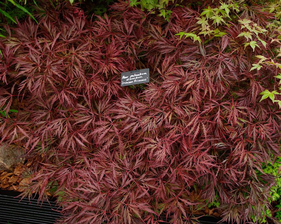 Acer Palmatum Dissectum Gardensonline