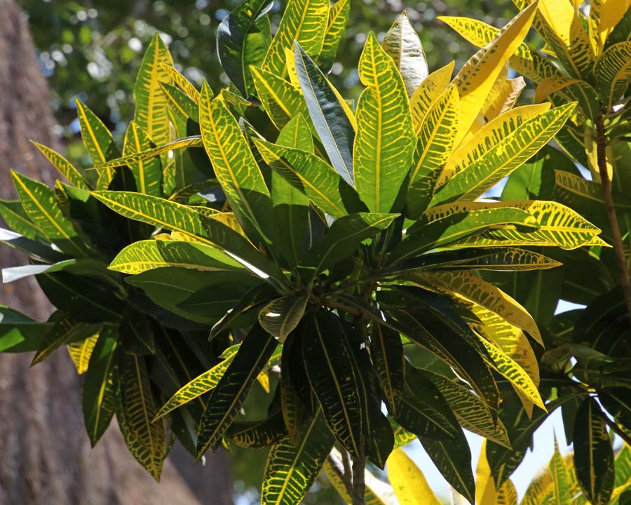 Codiaeum variegatum, the Croton