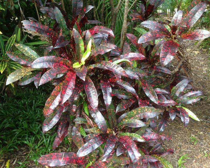 Codiaeum variegatum Red Spot