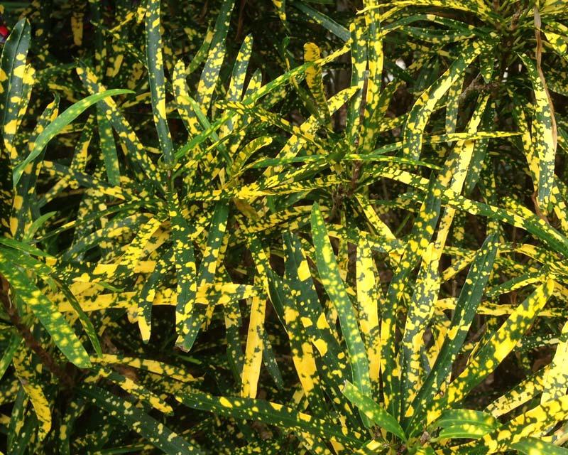 Codiaeum variegatum Gold Dust