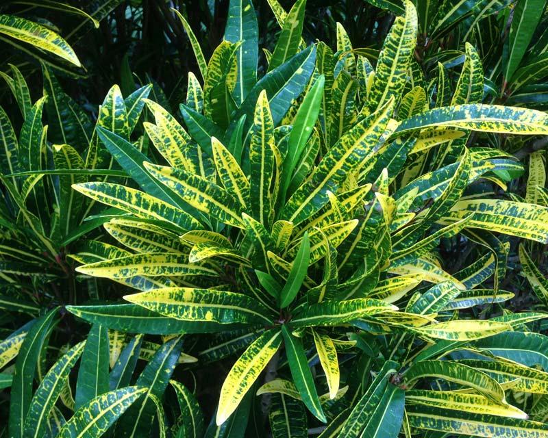 Codiaeum variegatum - unnamed hybrid