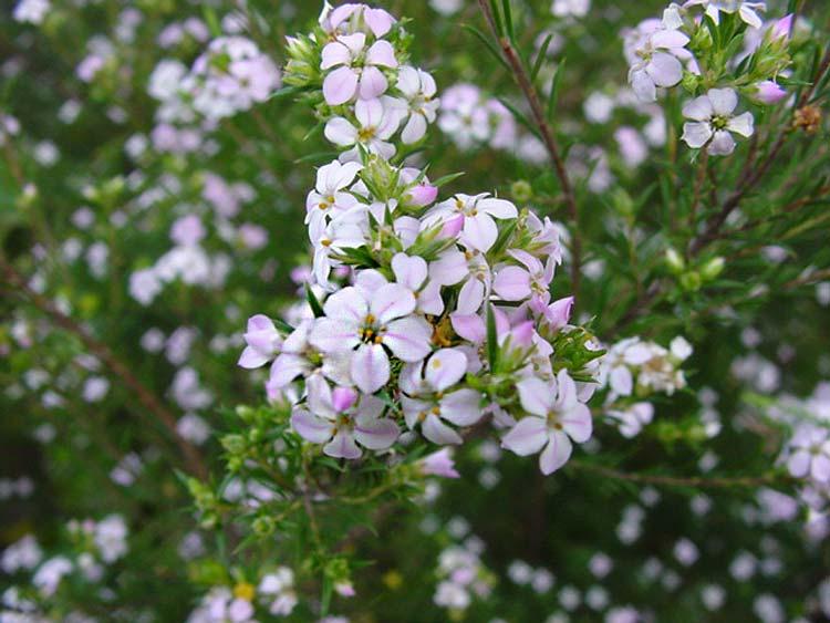 Coleonema pulchellum. Diosma pink