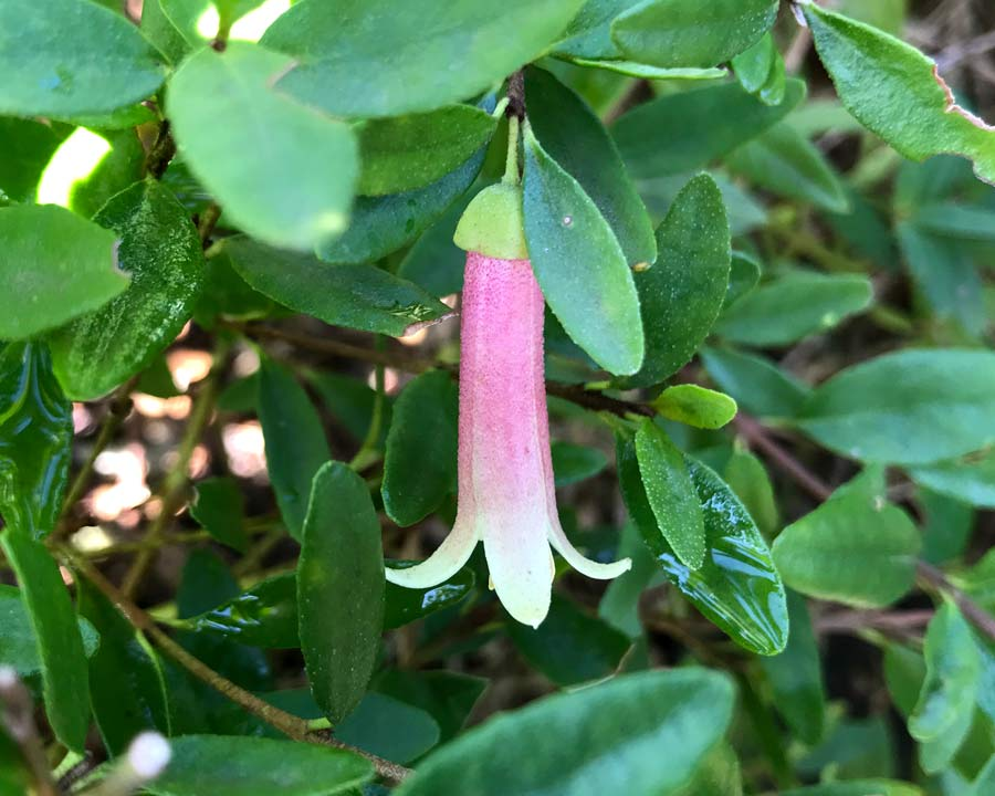 Correa reflexa Native Fuchsia - long pale pink bells with pale green to yellow tips