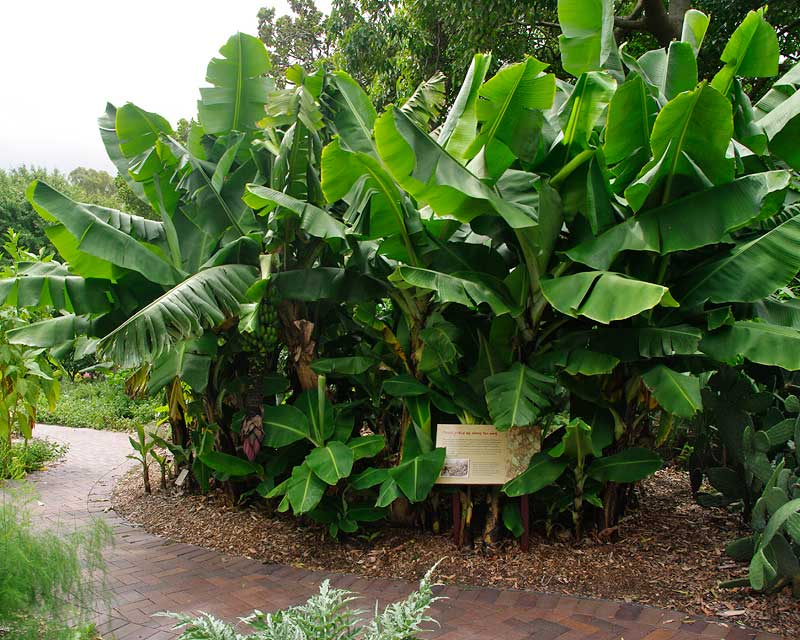 Banana clump in Sydney Royal Botanic Gardens, whose ancestors were brought from Rio De Janeiro