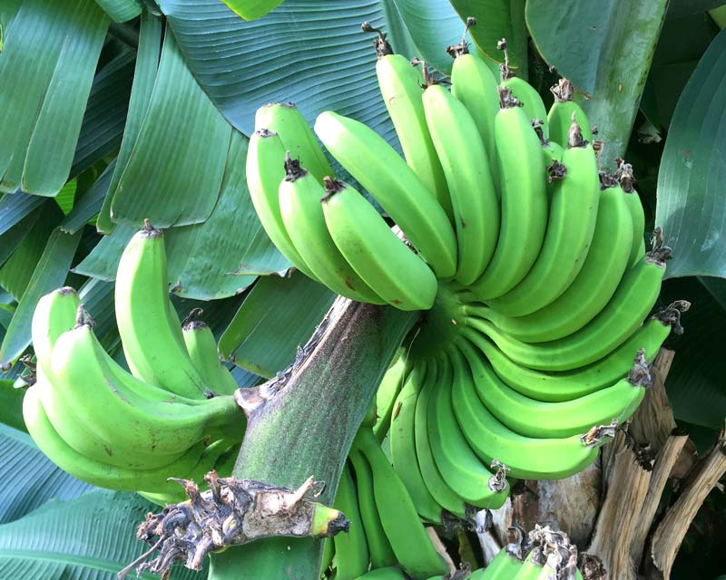 Musa acuminata, bunch of bananas