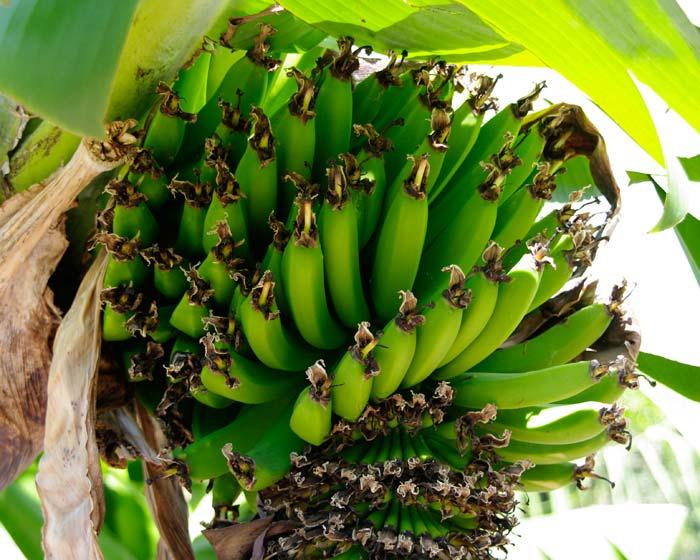 Musa acuminata