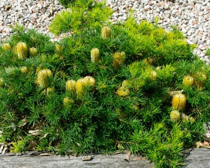 Banksia spinulosa Birthday Candles