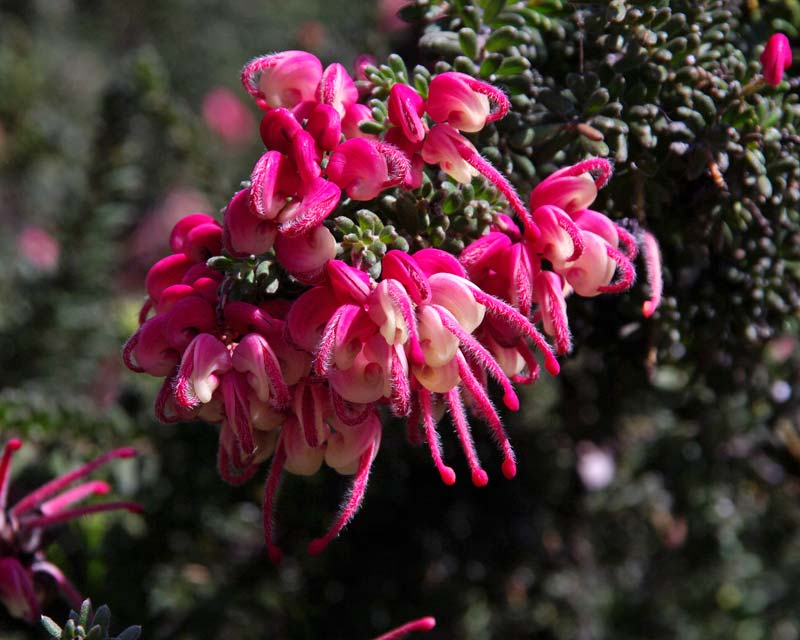 Grevillea lanigera is also known as the Woolly Grevillea