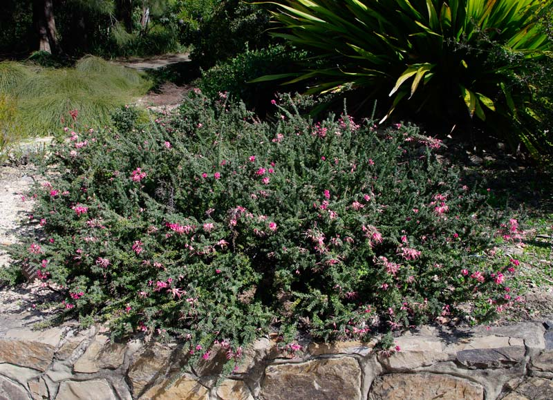 Grevillea lanigera. Woolly Grevillea is a low spreading shrub with clusters of pretty pink flowers