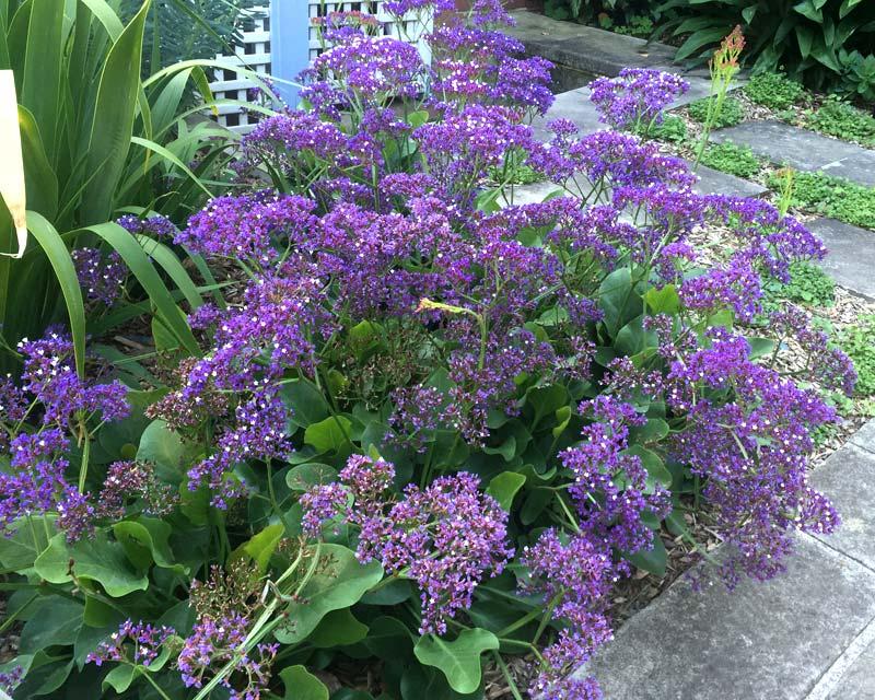 Gardensonline Limonium Perezii