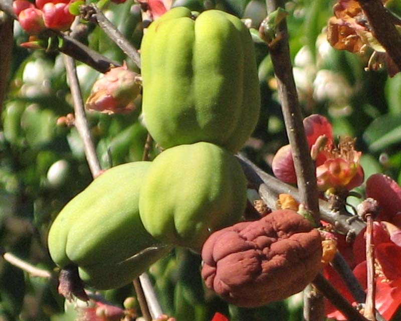 The fruit of the Flowering Quince