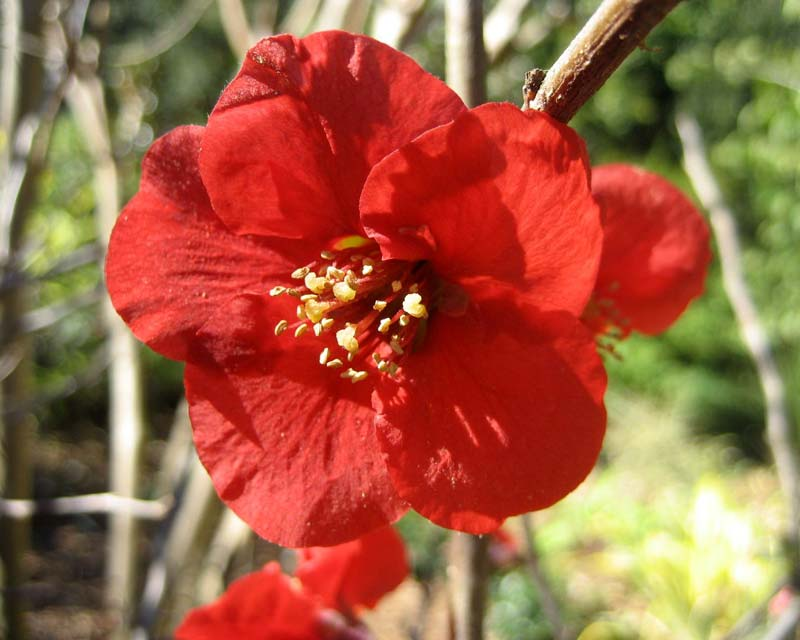 Chaenomeles japonica sometimes known as Chaenomeles maulei, more commonly known as Japanese Quince