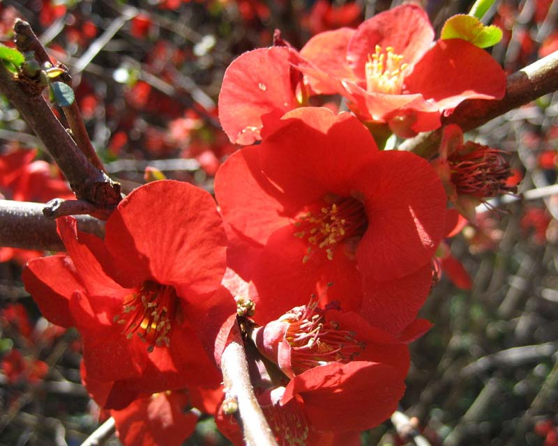 Chaenomeles japonica syn C.maulei has bright red flowers in spring