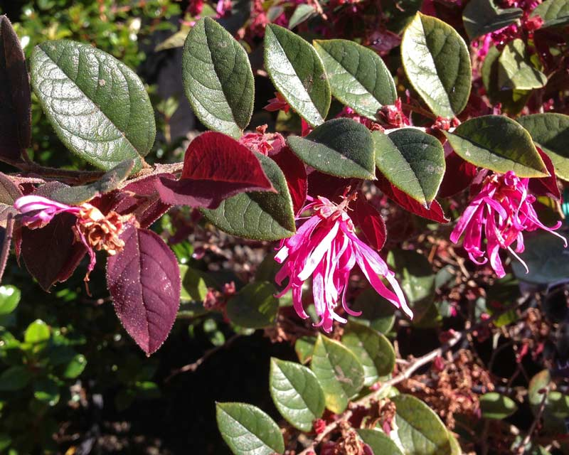 Loropetalum chinense flower