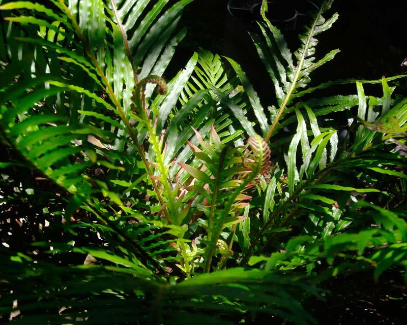Emerging Fronds - Blechnum gibbum Dwarf Tree Fern