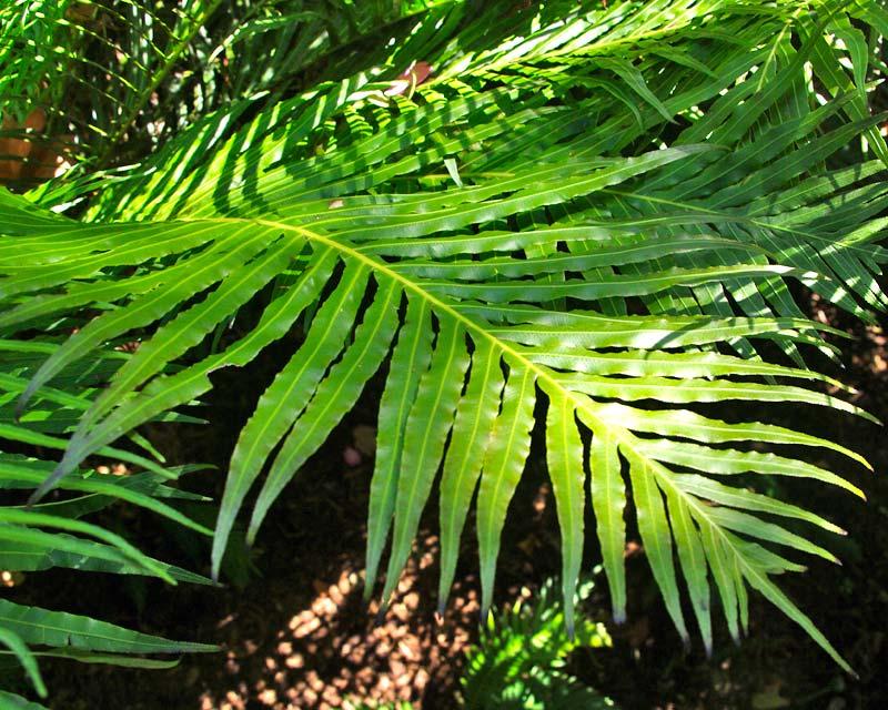 Blechnum gibbum - Norfolk Island Water Fern