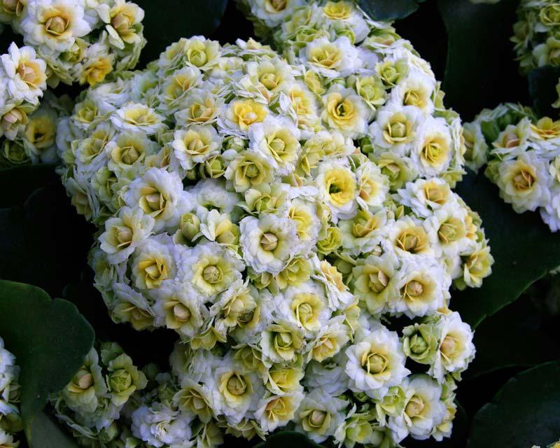 Kalanchoe blossfeldiana Lemon