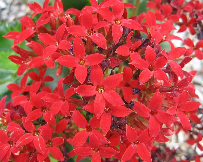 Kalanchoe blossfeldiana