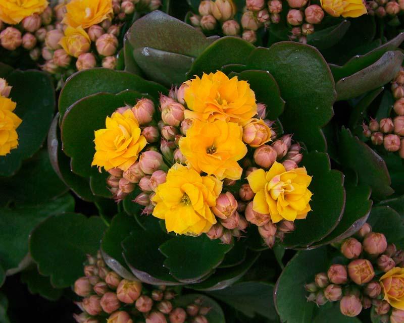 Kalanchoe blossfeldiana Yellow Summer