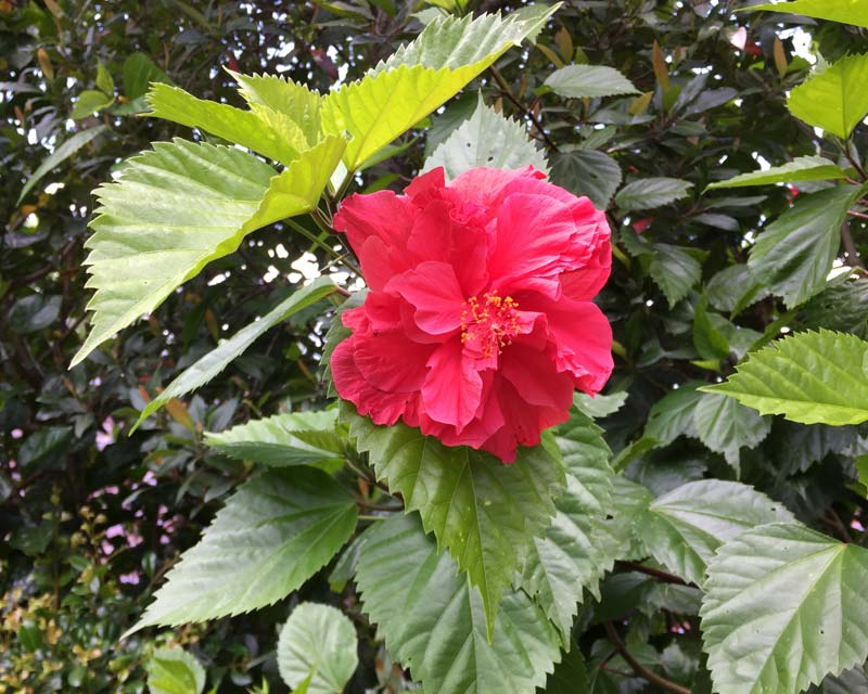 Hibiscus rosa-sinensis Mrs George Davis - deep pink double flowers and serrated leaves