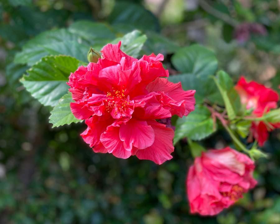 Hibiscus rosa sinensis 'Mrs George Davis'