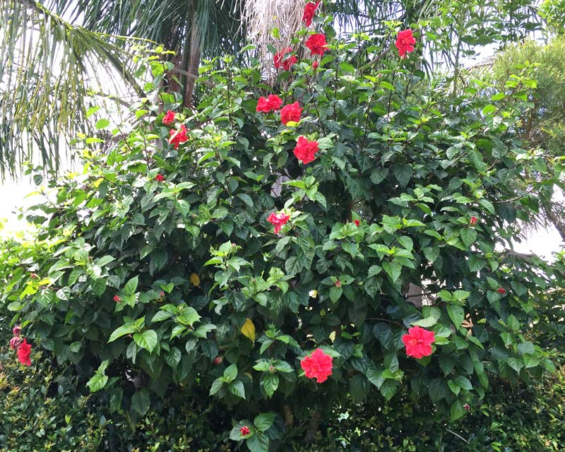 Hibiscus rosa-sinensis Mrs George Davis - Pruned in standard shape - to allow denser hedge to grow below