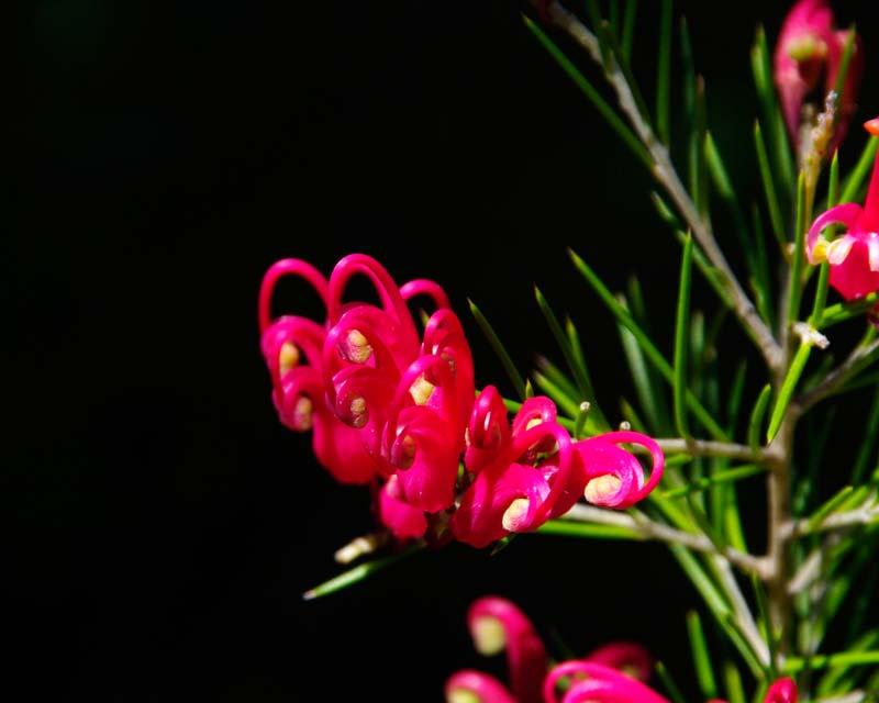 Grevillea Rosmarinifolia Scarlet Sprite