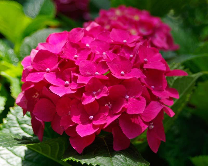 The wonderful deep pink flower head of Hydrangea macrophylla Rose Supreme