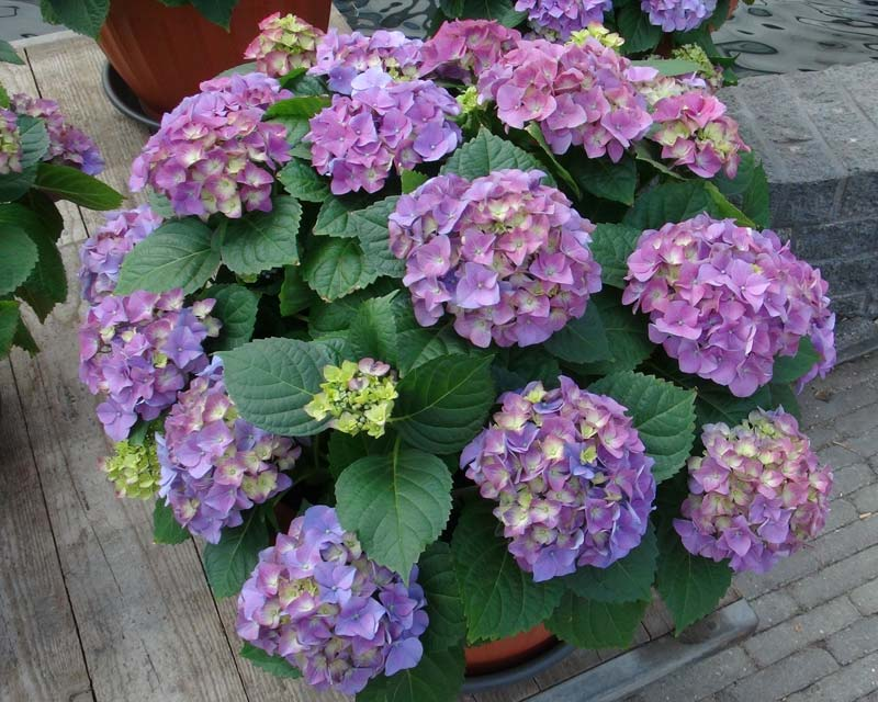 Hydrangea macrophylla - this is Early Blue.