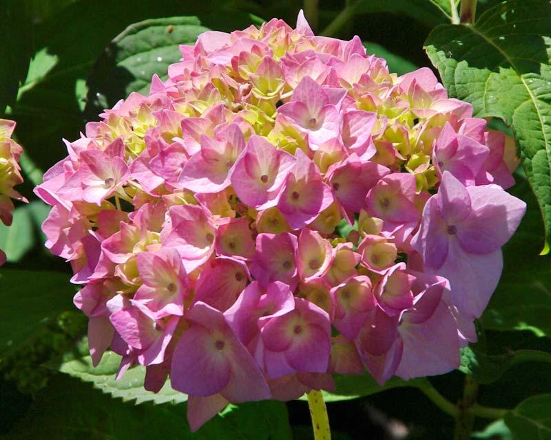 Hydrangea macrophylla Kluis Superba - pale pink flowers