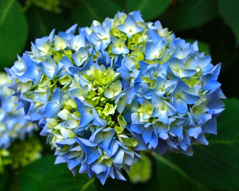 Hydrangea macrophylla Madame Fausten Travouillon - powder blue flowers