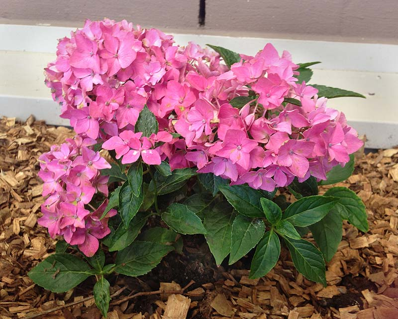 Hydrangea macrophylla Piamina - a dwarf variety to 60cms height and frost hardy.