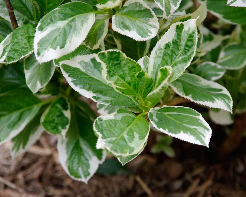Hydrangea macrophylla variegated variety foliage