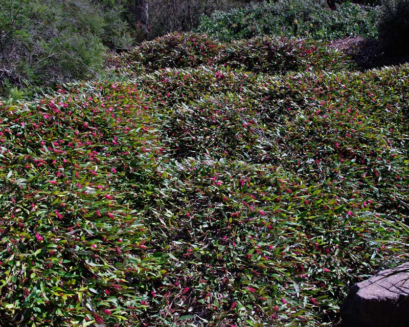 Grevillea x Poorinda royal mantle - good groundcover and for rockeries