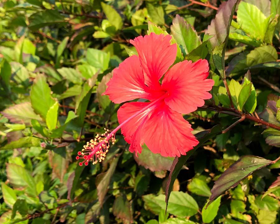Hibiscus rosa sinensis Andersonii