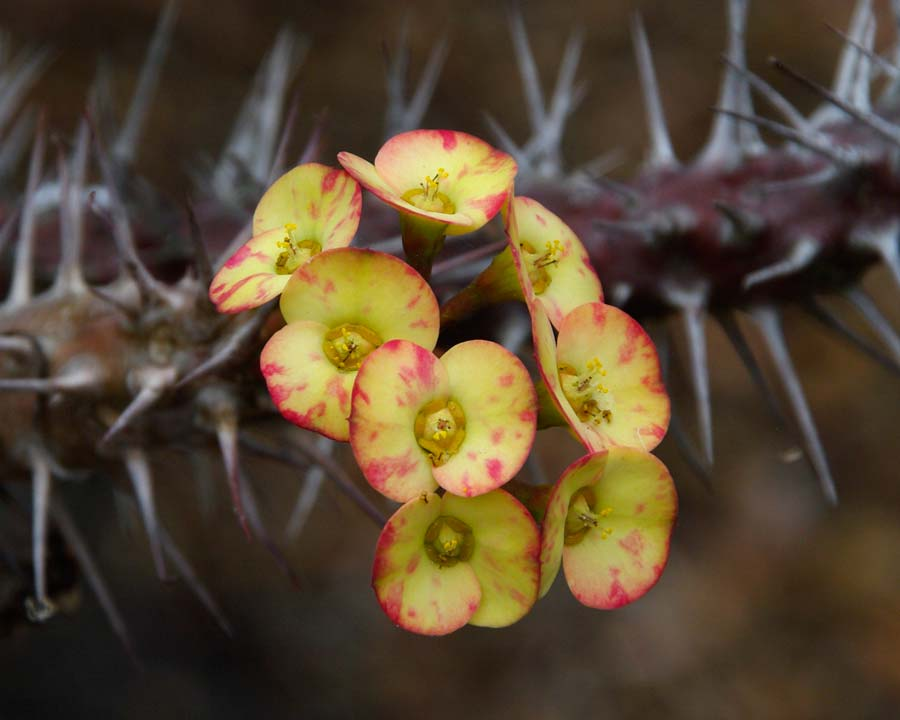 Euphorbia milii 'Splendens Yellow'